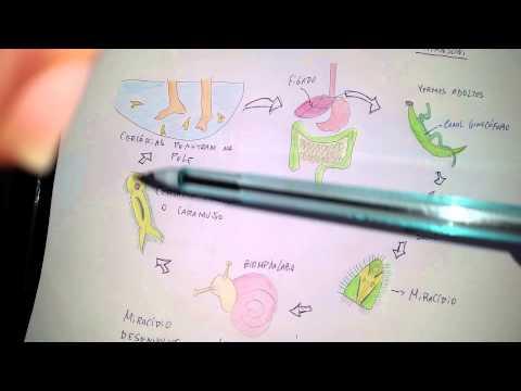 Ciclo Biológico - Schistosoma mansoni e Wuchereria bancrofti