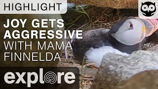 Joy Gets Aggressive With Finnelda - Audubon Project Puffin - Live Cam Highlight thumbnail