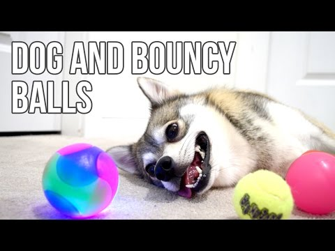Kobi the Alaskan Klee Kai with his bouncy balls