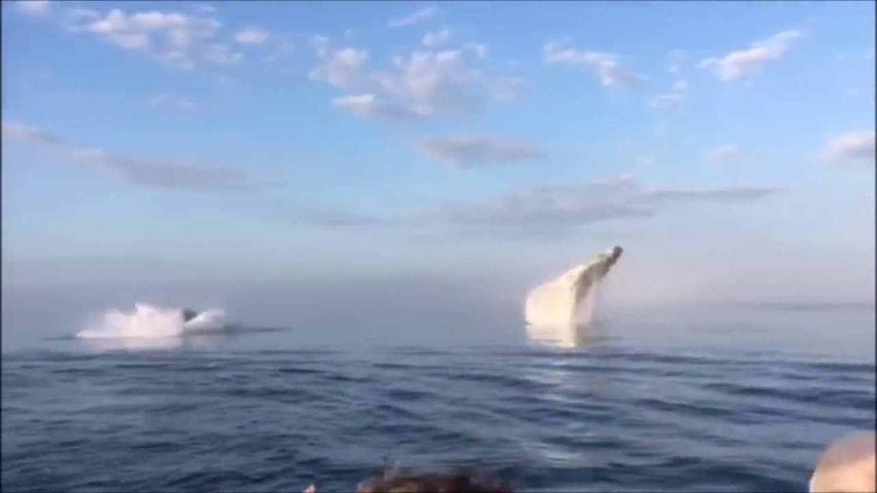 Quand 3 baleines plongent puis sautent en même temps ça donne ça et c'est grandiose!