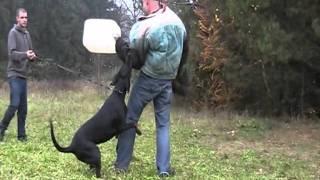 Dobermann Kaya Vom Excalibur Schutzdienst Schutzhund Hundesport Zucht Züchter Welpen Ztp Idc