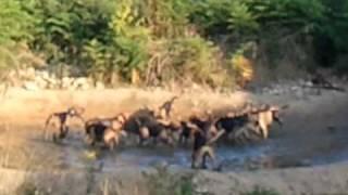 Vidéo Au Sanglier Avec Beagle Harrier