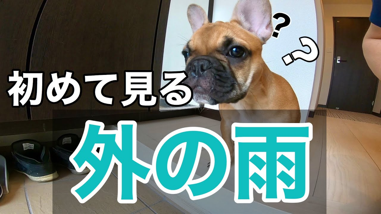 37話 初めて外の雨を見たフレンチブルドッグ花子♪ French bulldog Hanako who saw the rain outside for the first time