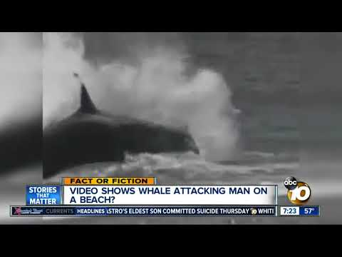 Video Shows Whale Attacking Man?