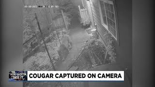 Cougar caught on camera: Check out this big cat making its way through Mark Nelsen's back yard
