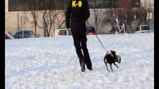Miniature Pinscher Training For Protection Ii.