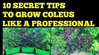 10 Tips To Grow Coleus Like Professional, आपके Coleus अब खूबसूरत होगे सिर्फ यह 10 चीज ज़रूर करे