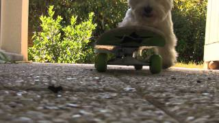 West Highland White Terrier : Dogs Tricks By Réglisse & Excel