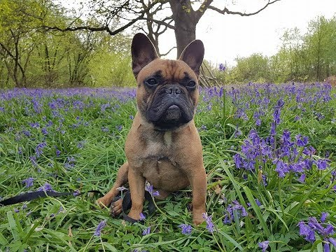Brennan - French Bulldog - 4 Weeks Residential Dog Training