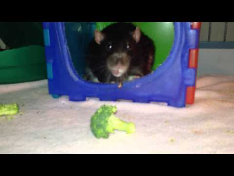 Lisa St. Regis Urban Blog - Very Polite Rat Hates Broccoli-Kicks it Out of His House Repeatedly