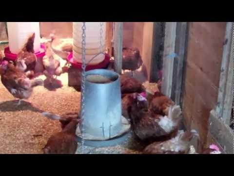 Living Streams Poultry Probiotics in use