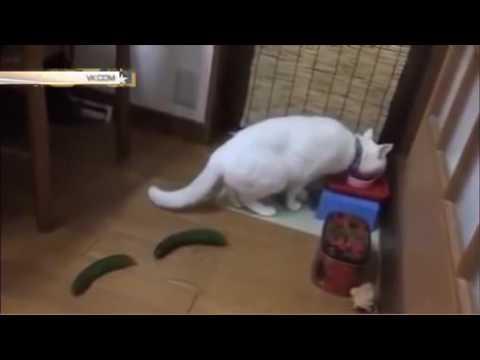 Котов пугают огурцами