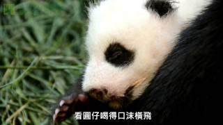 圓仔努力長大 The Giant Panda Baby Growing Up