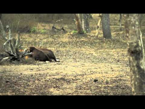 Tiger kills adult Gaur [New Footage]