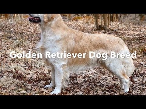 golden-retriever-dog-breed-information---a-best-friend-for-the-entire-family