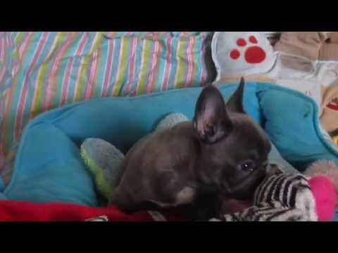 Legacy French Bulldogs: 8 WEEKS YOUNG Blue Beauty Bellisima