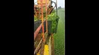 Celery Harvest