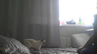 Балинезийская кошка - Суперкэт