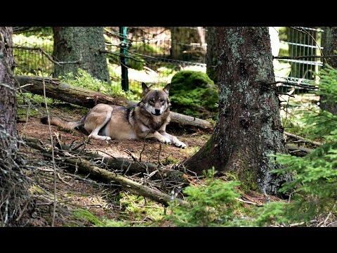 Jak si žije smečka devíti vlků, uvidíte na vlastní oči v Srní