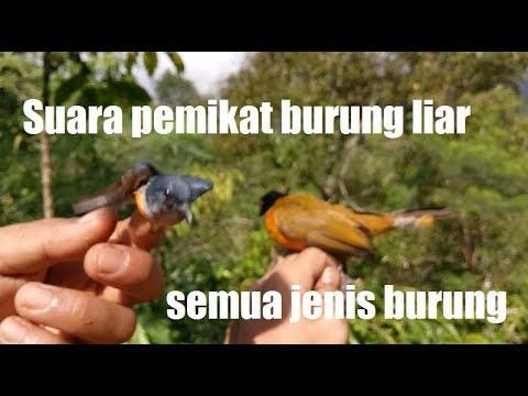Suara pemikat semua jenis burung liar dan terbukti hasilnya