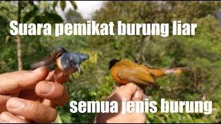 Gambar cover Suara pikat burung kecil ampuh dan terbukti dari sue channel