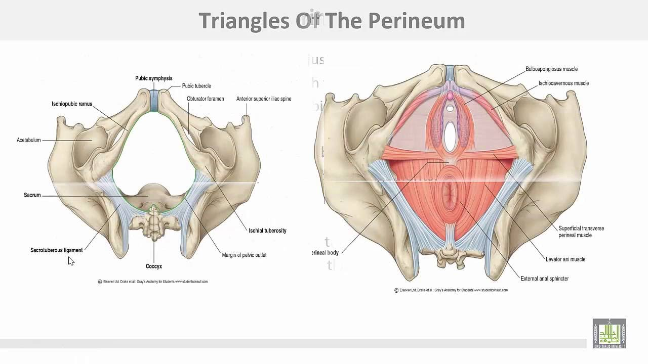 Anatomy 1 | C3 - L8 | Perineum - 1 - YouTube