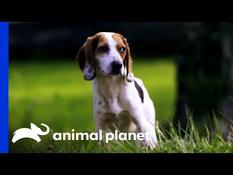 Rescuing A Beagle When You Can't Run | Pit Bulls and Parolees