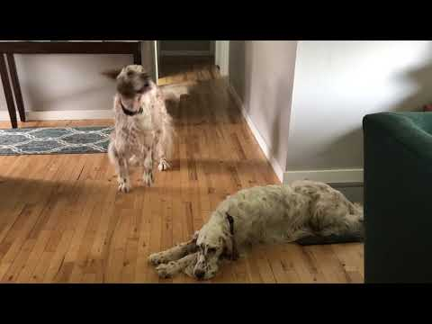 English Setter Wanting For Walks