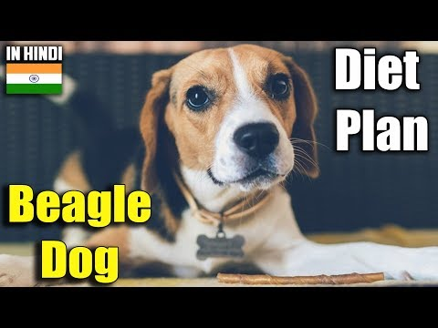 beagle | diet plan | amazing facts in hindi | Animal Channel Hindi