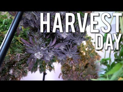 HARVEST DAY OF THE PURPLE PRIZED PHENO: AMHERST SOUR DIESEL