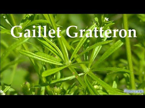 Le Gaillet Gratteron plante sauvage comestible et médicinale