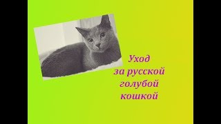 Уход за русской голубой кошкой  Её внешность и особености