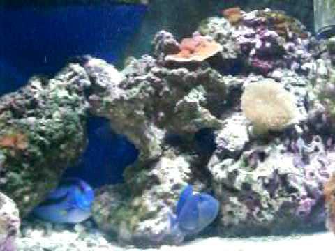 Niger Triggerfish, Blue Tang And Clownfish