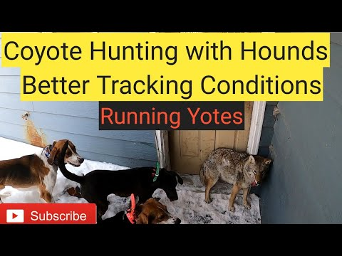 Coyote Hunting With Hounds Better Tracking Conditions