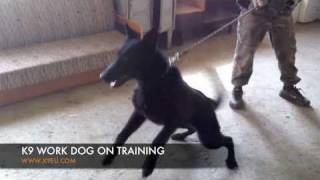 Solid Black Gsd - Black German Shepherd Police Dog Training