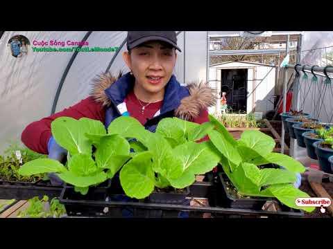 Chia sẻ cách trồng cải thảo bắp to, trồng cải thìa tươi tốt không bị sên ăn 🇨🇦815》 Vườn Rau Việt