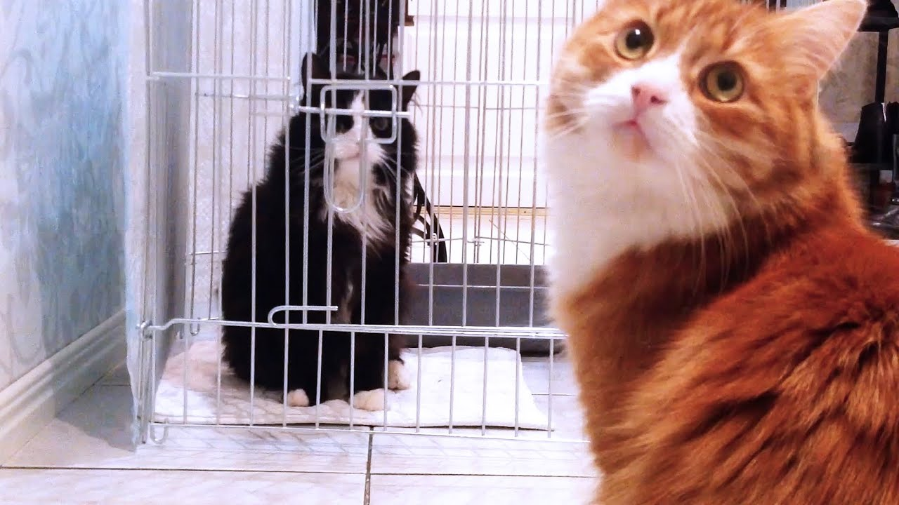 Bored Cat Escapes From Cage After Surgery