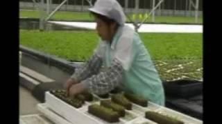 lettuce.wmv