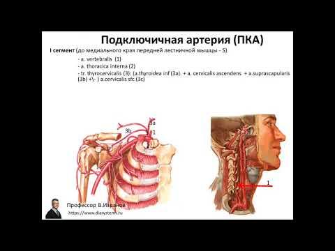 Клиническая и ультразвуковая анатомия брахиоцефальных артерий.  1 ЧАСТЬ