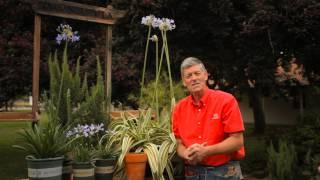 How to Fertilize an Agapanthus : Garden Savvy
