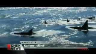 """Transient Orca Boom in Salish Sea Thrills Whale Watchers"" / CHEK TV 8/29/14"