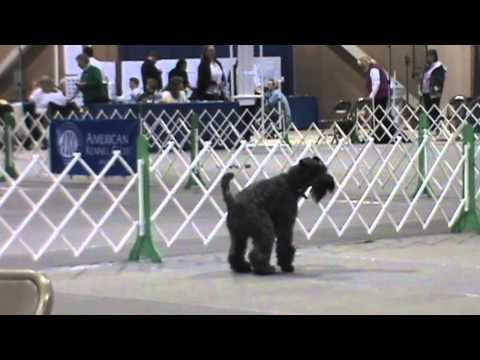 Oscar, Kerry Blue Terrier