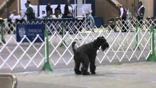 Oscar, Kerry Blue Terrier