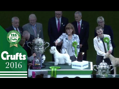 West Highland White Terrier wins Crufts Best in Show 2016