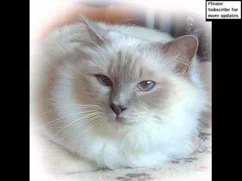 Birman Lilac | Set Of Cat Picture Collection