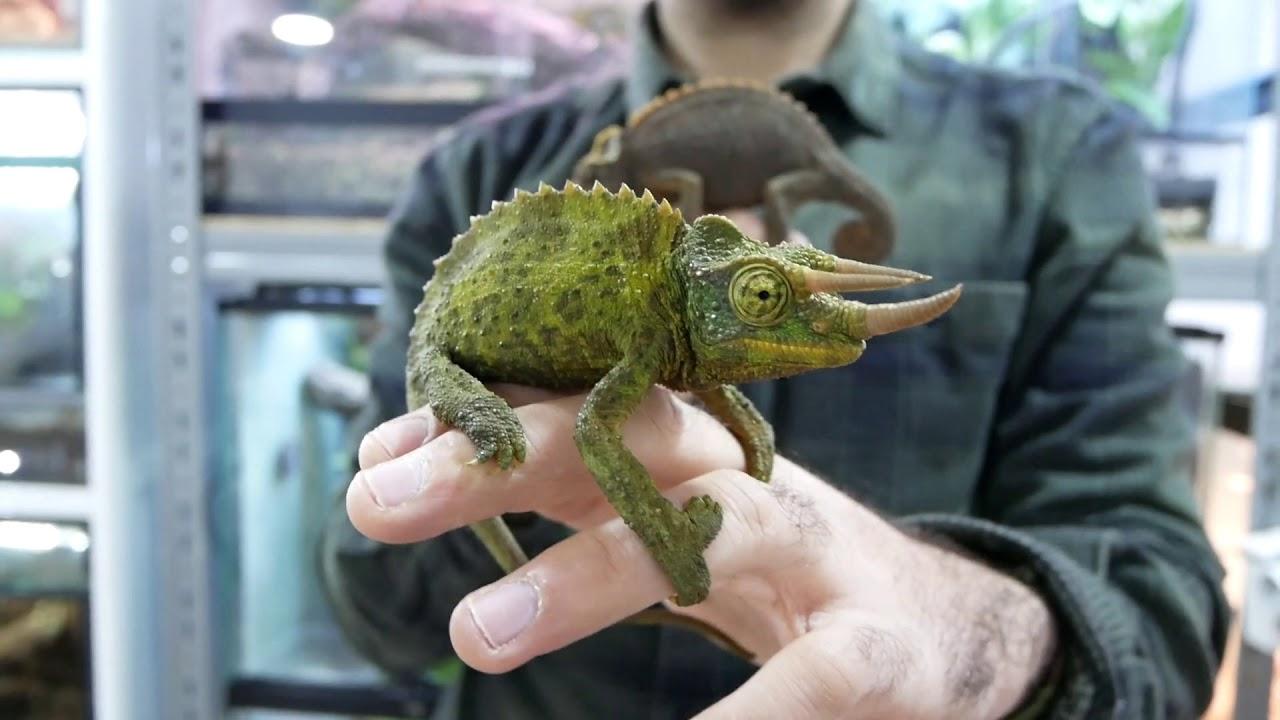 Resultado de imagen de camaleon de jackson