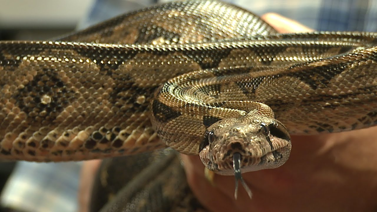 A woman was bitten and nearly strangled by a boa constrictor