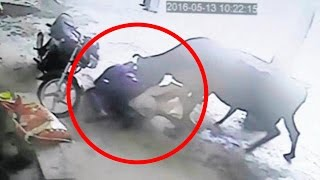 Cows  Brave cow attacks two men to rescue girl; Rustlers stuff four cows in a car   Compilation