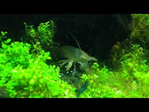 Atya gabonensis (vampire/viper shrimp) - Freshwater Giant Filter Shrimp