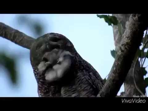 Mottled Wood Owl Hoot.mp4